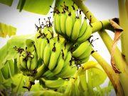 9 lợi ích khi bà bầu ăn chuối xanh